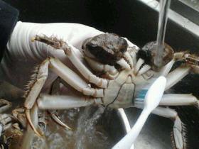 如何洗螃蟹不被夹手 螃蟹怎么洗不会夹到手