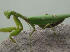 螳螂是益虫还是害虫  螳螂是怎么繁殖后代的