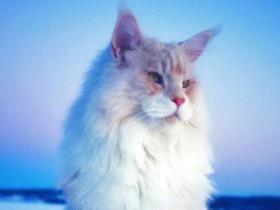缅因猫好养吗 了解这些三思后行
