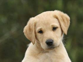 最受欢迎的狗狗有哪些 这几种甚是讨人喜欢